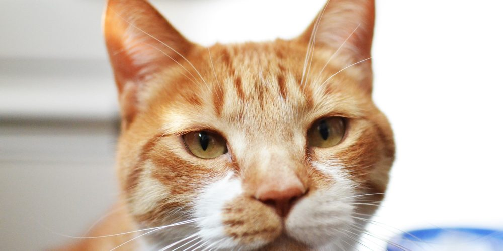 chat rousse